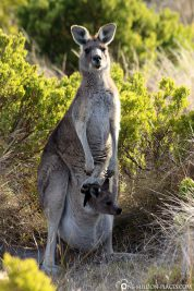 A kangaroo mom with her baby in a pouch
