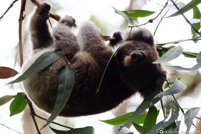Koalas in the wild