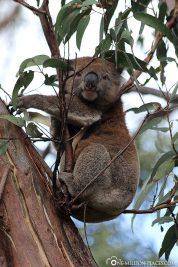 The koalas in Kennett River