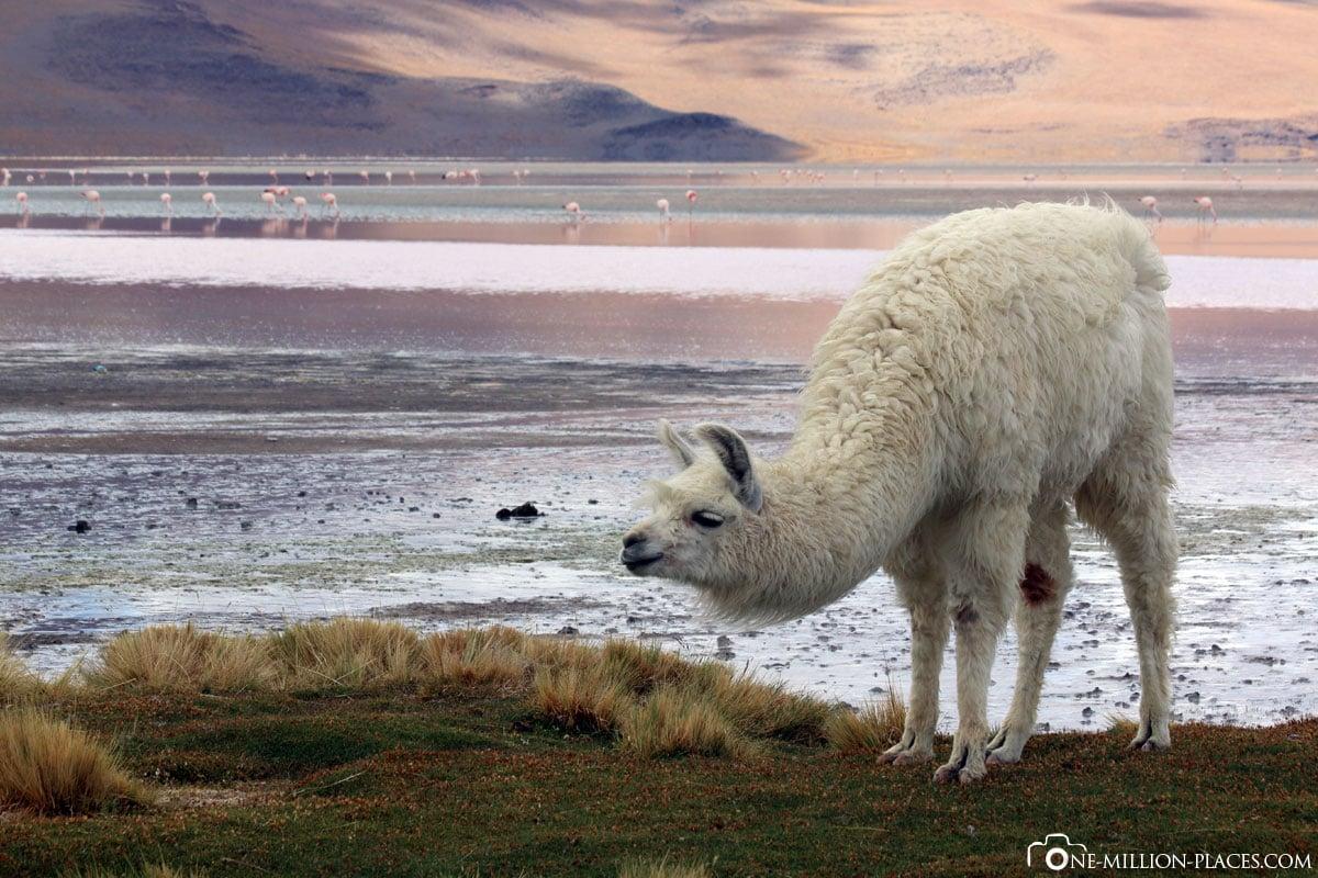 Alpaka, Laguna Colorada, Nationalpark Eduardo Avaroa, Bolivien, Südamerika, Tour, Reisebericht