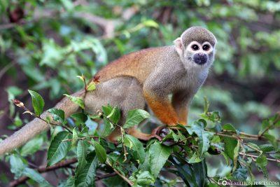 Ein Affe im Baum