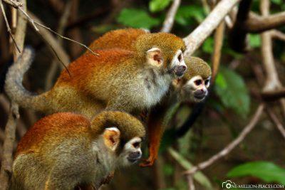 Affen am Fluss