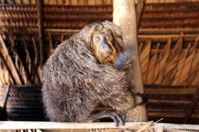 Ein Affe im Amazonas