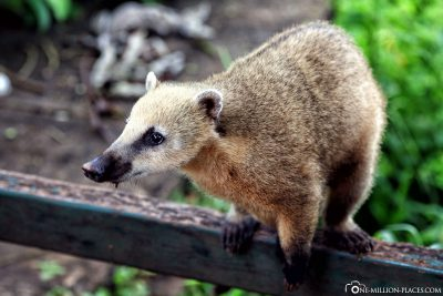 Ein Nasenbär