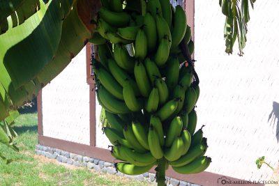 Bananenstaude vor dem Bungalow