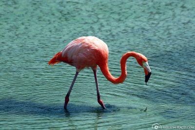 Flamingos auf Galapagos