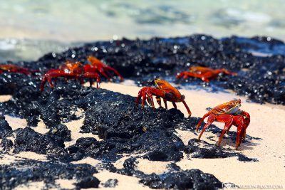 Red cliff crabs