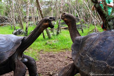 The welcome of two giant tortoises