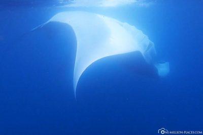 A Giant Manta