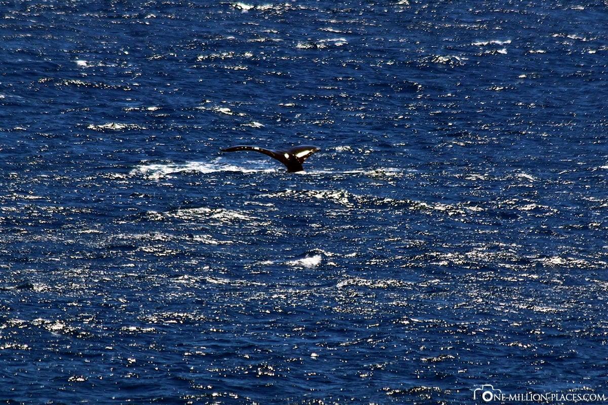 Buckelwale, Oahu, Inselrundfahrt, Auf eigene Faust, Sehenswürdigkeiten, Hawaii, USA, Reisebericht