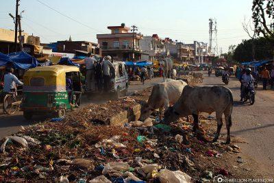 Die Kühe im Müll auf den Straßen von Agra