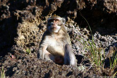 Ein Affe am Aussichtspunkt