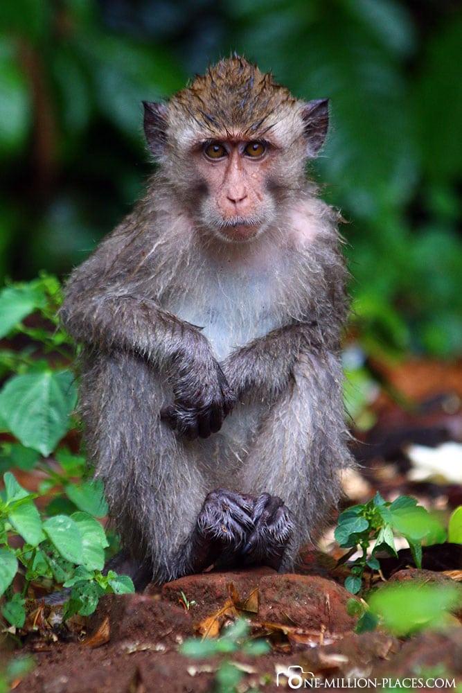 Affe, Schildkröten, Aufzuchtstation, Sukamade, Betiri National Park, Insel Java, Indonesien, Tour, Reisebericht