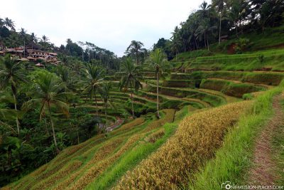 The Tegalalang rice fields in Ubud
