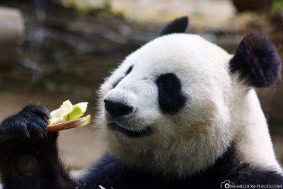 Die Großen Pandas