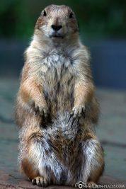 A prairie dog