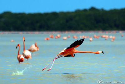 Cuban flamingos
