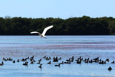 The many birds in the lagoon