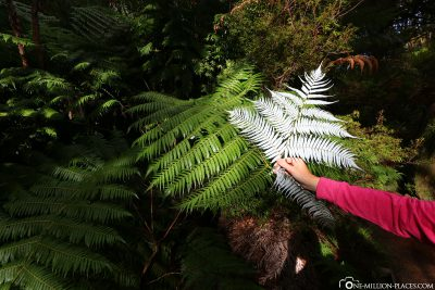 The different sides of the silver fern