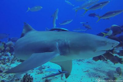 A lemon shark