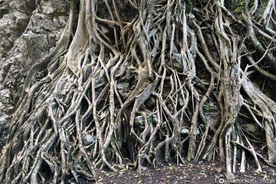 The huge tree roots