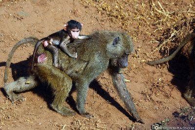 Affe mit Affenbaby