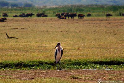 Ein Marabu