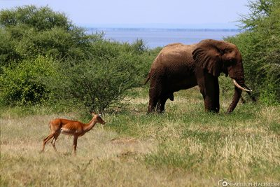 Ein Elefantenbulle