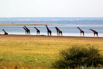 9 Giraffen um Ufer des Lake Manyara