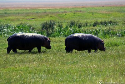 Two hippos out of the water