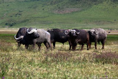 A group of water buffaloes