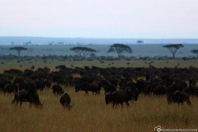 Große Tierherden