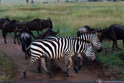 Zebras & Gnus