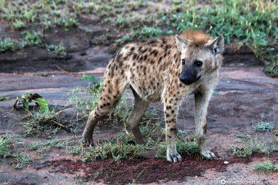 Eine Hyäne