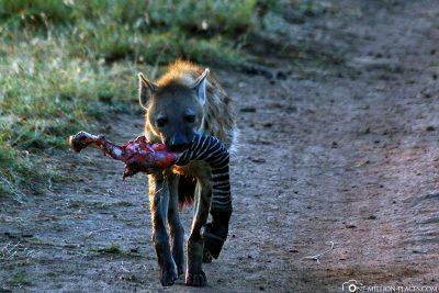 Eine Hyäne mit einem Zebrabein