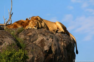 Lions in the morning sun