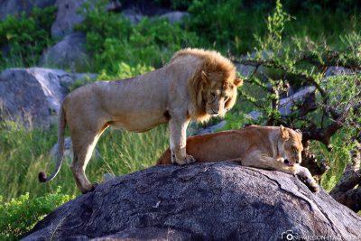 Ein Löwenpärchen