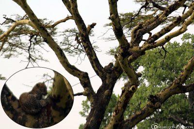 Ein Leopard auf einem Akazienbaum