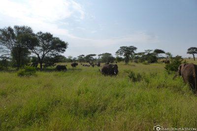 A really big herd of elephants