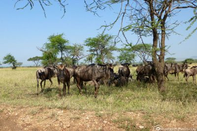 Wildebeest at the side of the road