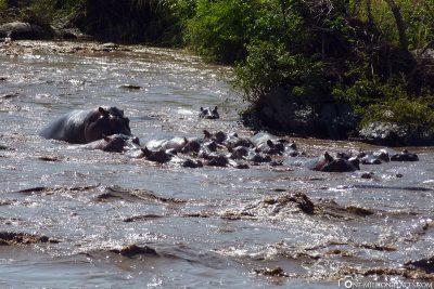 Eine Gruppe von Nilpferden im Wasser