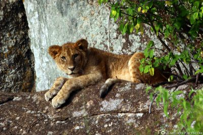 Ein noch junger Löwe