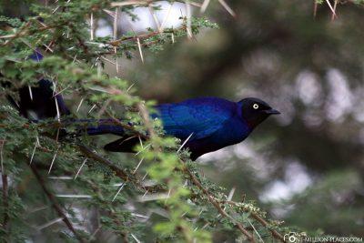 Ein blauer Vogel