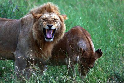 Lions at flehmen