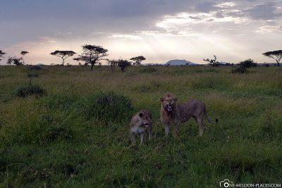 The Lion Couple