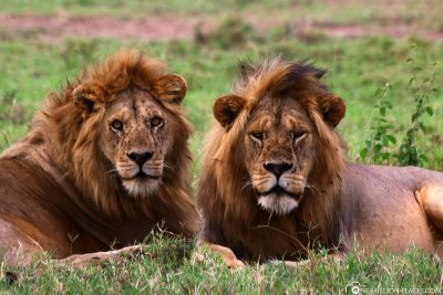 2 lionmals