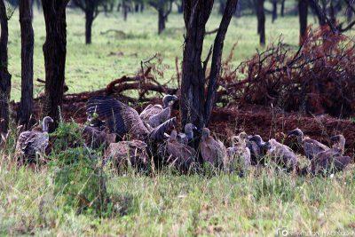 Vultures feast for dinner