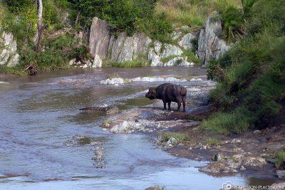 Water buffalo meets crocodile