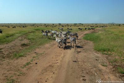 Zebras on our way