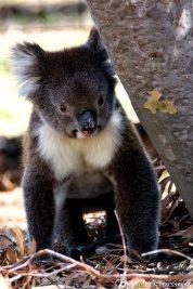 Running koala